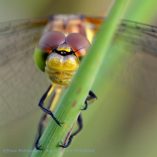 Close-up eyes Yellowwinged darter