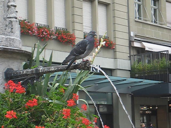 pigeon_drinking.avi