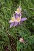 Colorado Columbine (Aquilegia coerulea var. coerulea)