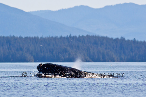 Whale Watching, Vancouver Island