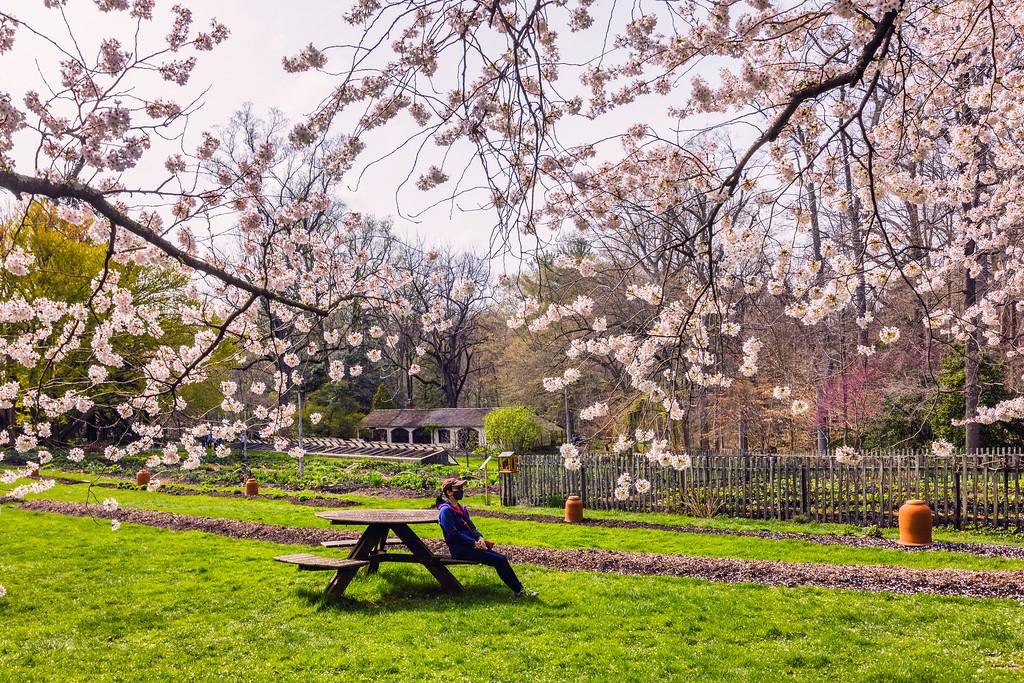 Chanticleer花园,樱花陪伴