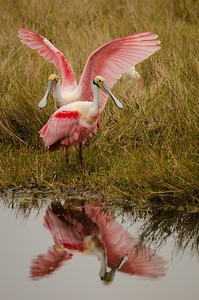 Two spoonbills and their reflections.  I like the way the reflections blend together and almost make it look like there is only one bird.