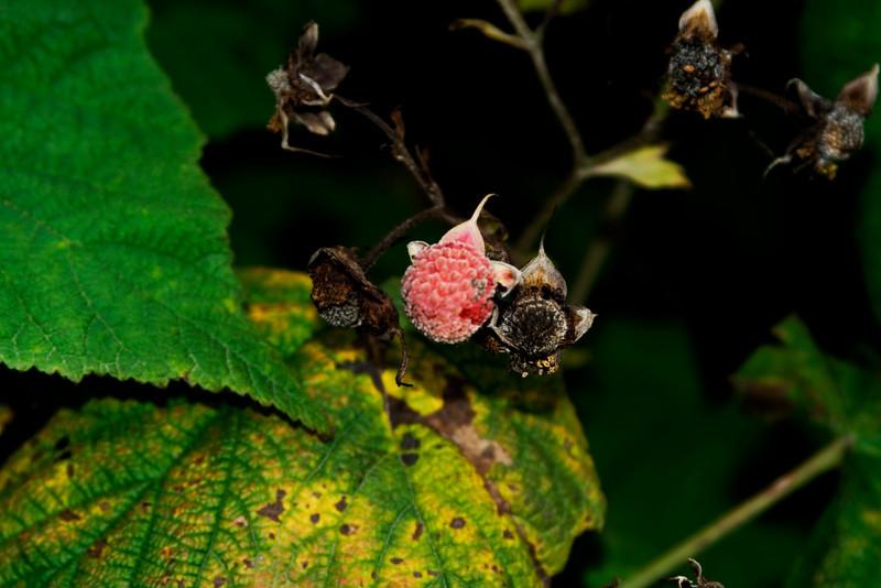 Thimble Berry.jpg