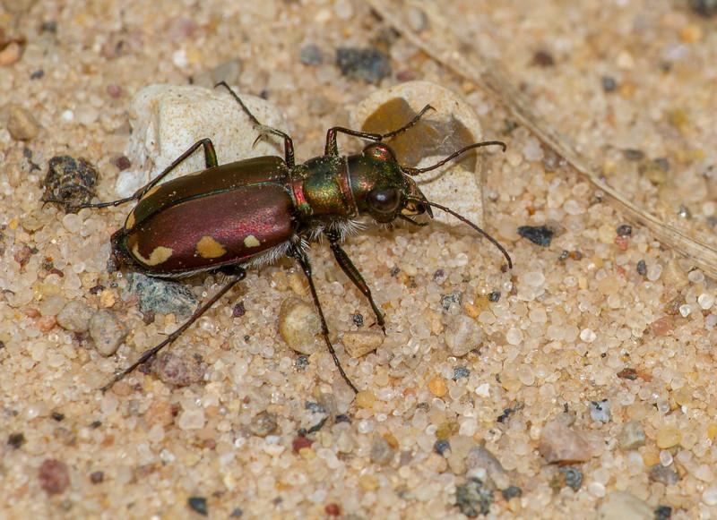 Cicindela scutellaris subspecies Lecontei Festive Tiger Beetle Sauk Prairie Recreation Area WI  IMG_0325.jpg