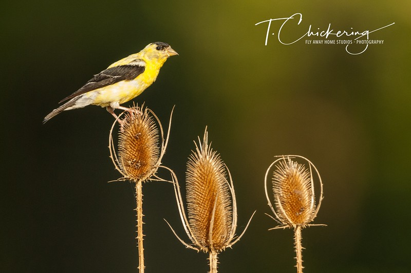 American Goldfinch on Thistle-1569164536981.jpg