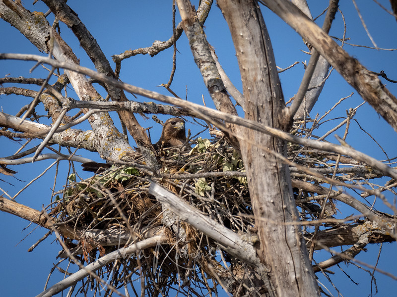 Red-tailed Hawk on nest