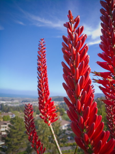 Aloe 'Always Red'