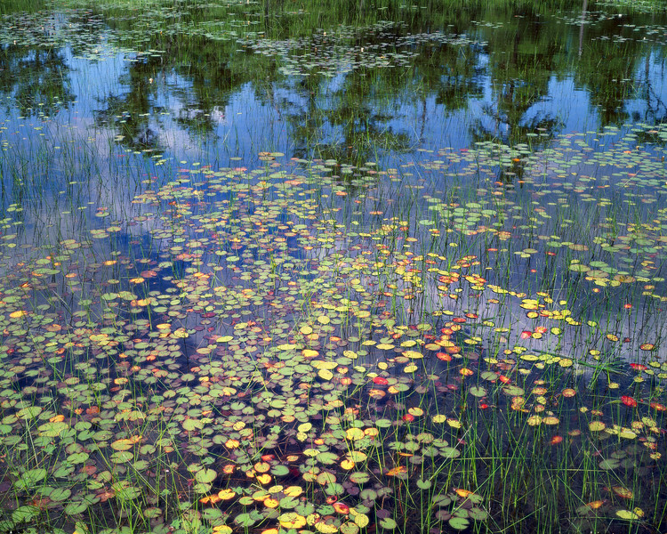 Eight Trees & Many Water Lilies
