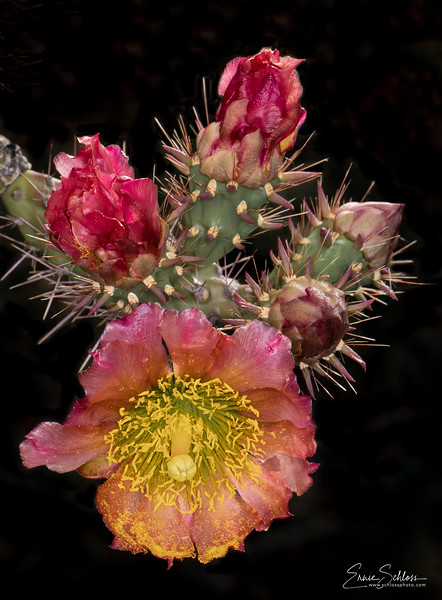 IR Cactus Flowers 2-1-2019j-.jpg