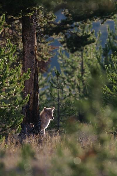 Coyote wide vert Yellowstone _MG_3860.jpg