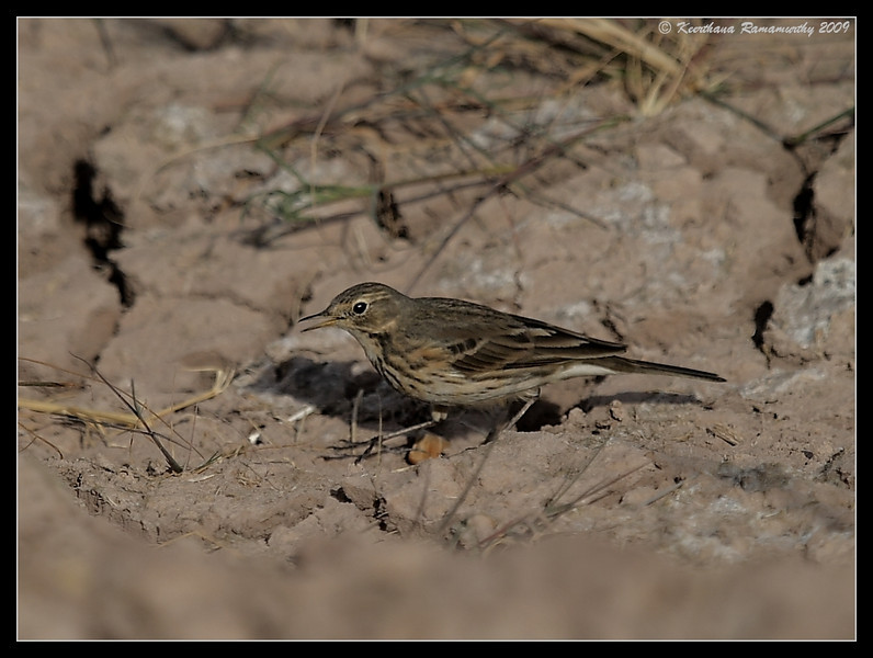 American Pipit, Salton Sea, Imperial County, California, November 2009