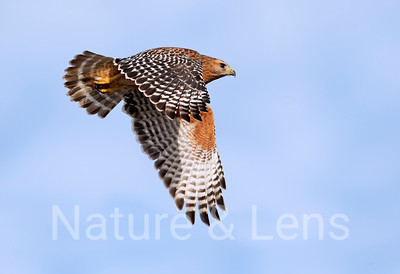 Hawks,  Red - Shouldered Hawks