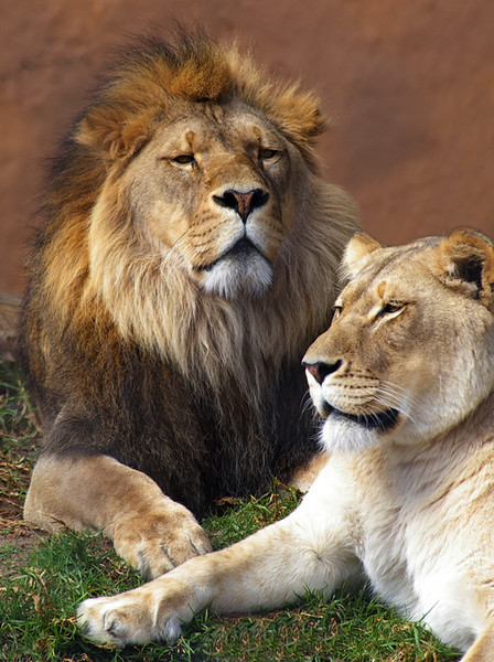 Lioness-Aug-9,3.jpg