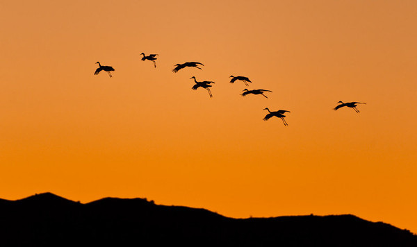 Bosque del Apache sandhill cranes at sunset