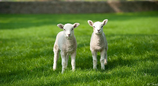 Spring Lambs @ Jervaulx Abbey