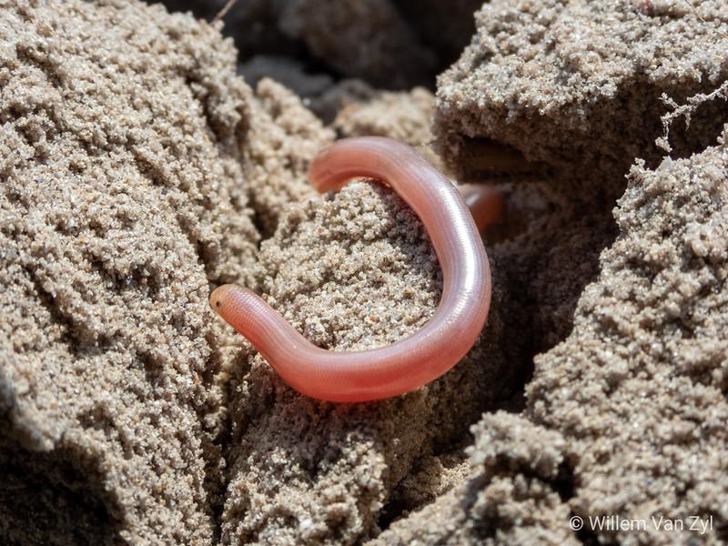 20190825 Delalande's Beaked Blind Snake (Rhinotyphlops delalandei) from Koeberg Nature Reserve