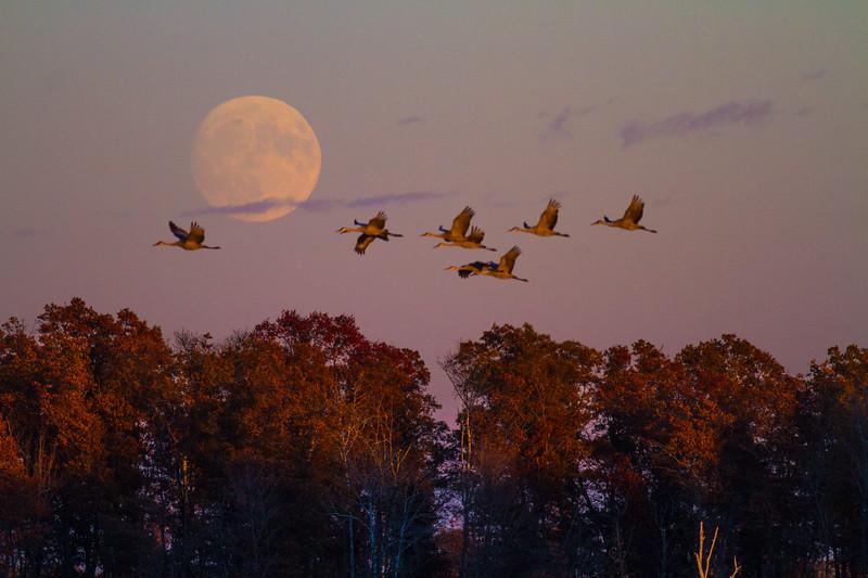 Sandhill Crane full moon fly in flight Crex Meadows Grantsburg WI IMG_1886.jpg