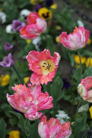 Albany Tulip Festival