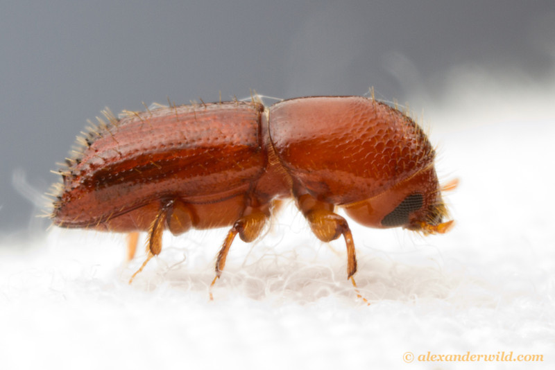 If you focus only on large subjects you'll miss the little treasures! Most insect species are less than a centimeter long. This 3mm bark beetle (Curculionidae: Scolytinae) came to a blacklight at Caves Branch.