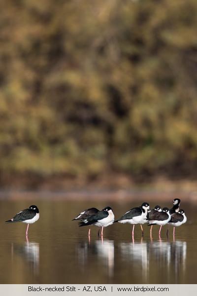 Black-necked Stilt - AZ, USA