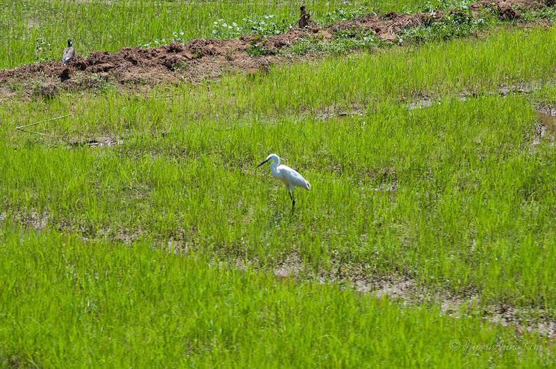 Beautiful white bird on the rice field