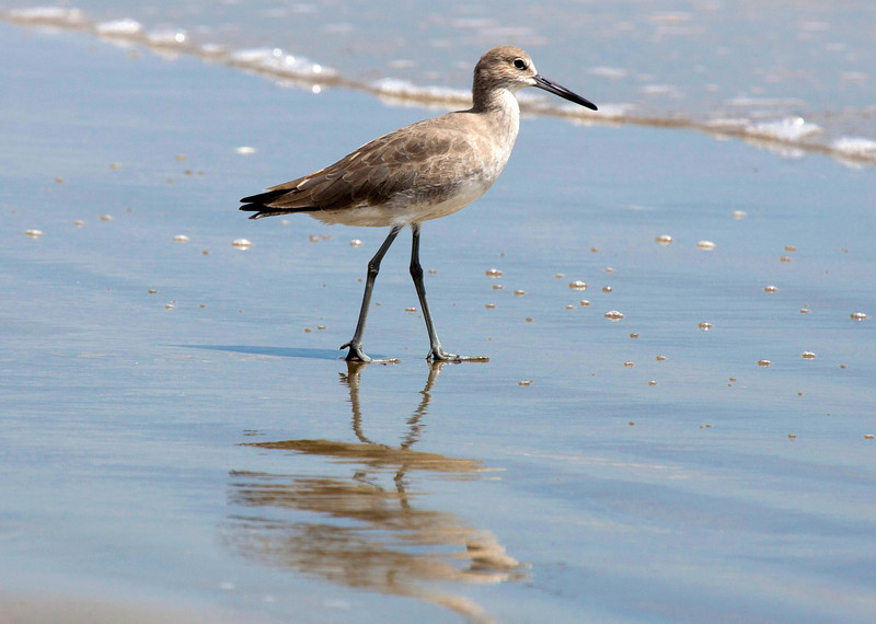 The somewhat drab Willet is a beautiful bird.
