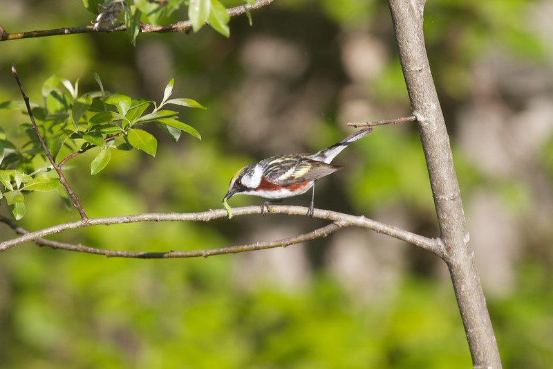 Chestnut-sided Warbler Sax-Zim Bog MN IMG_4852.jpg