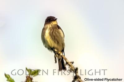 Olive-sided Flycatcher, LO
