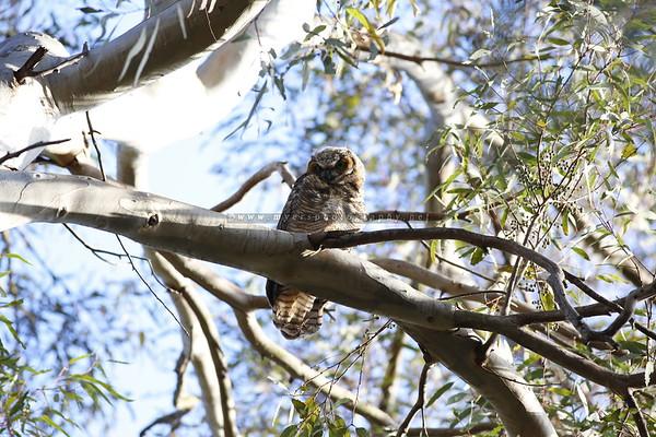 Owls at Huntington Beach Central Park 2017