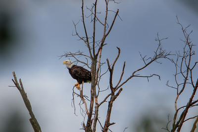 9.3.18 - Charlie Craig Fish Hatchery: Bald Eagle
