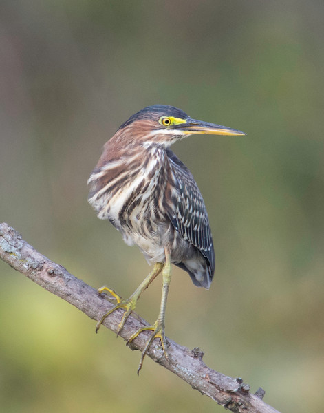 Green Heron Perched Kilbuck 1.jpg