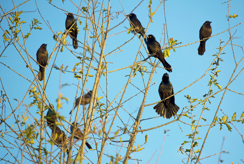 A flock of grackles arrives
