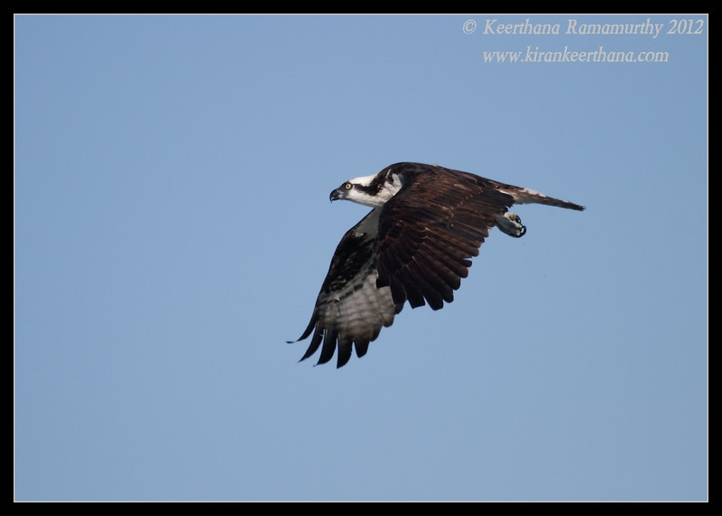 Osprey, Robb Field, San Diego River, San Diego County, California, February 2012