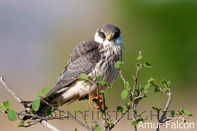 Amur Falcon, Kenya