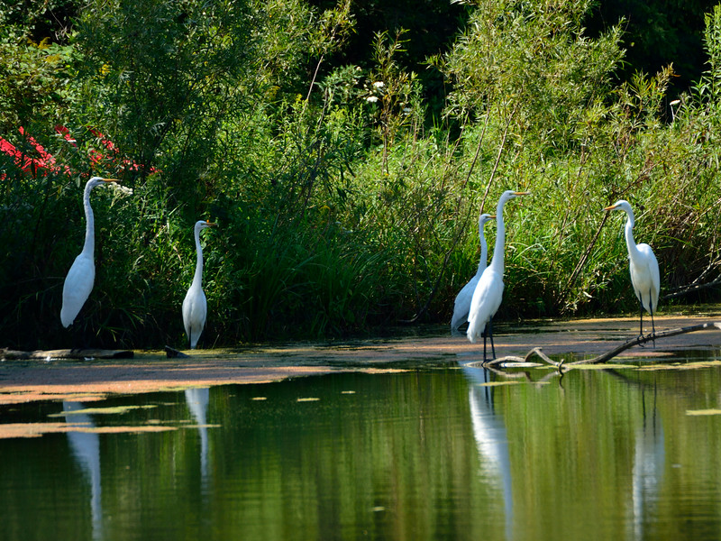 Egrets on the Goat Farm Pond