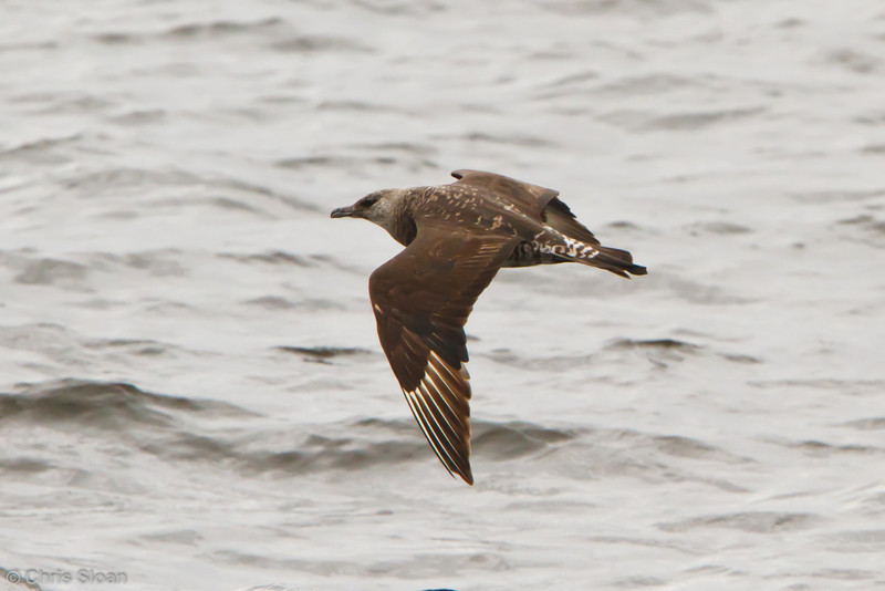 Pomarine Jaeger subadult at pelagic out of Bodega Bay, CA (10-15-2011) - 295.jpg