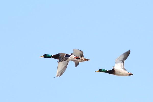2015 -  Geese & Wood Ducks