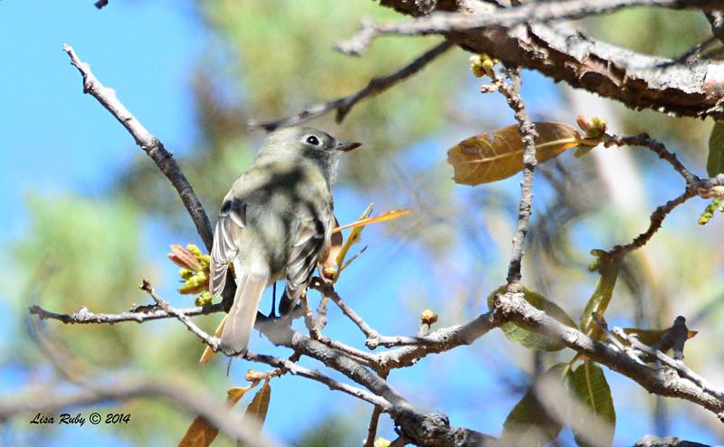 Empid - I think Cordilleran but need confirmation - 4/20/2014 - Huachuca Canyon, Sierra Vista, Arizona