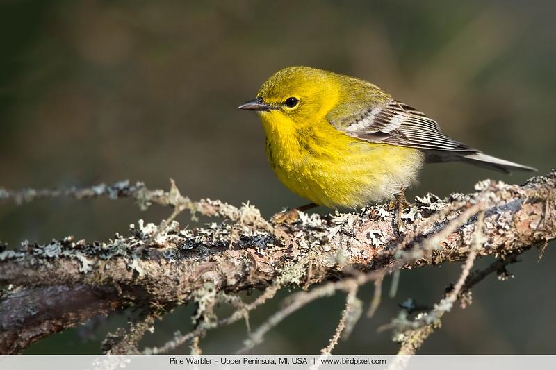 Pine Warbler - Upper Peninsula, MI, USA