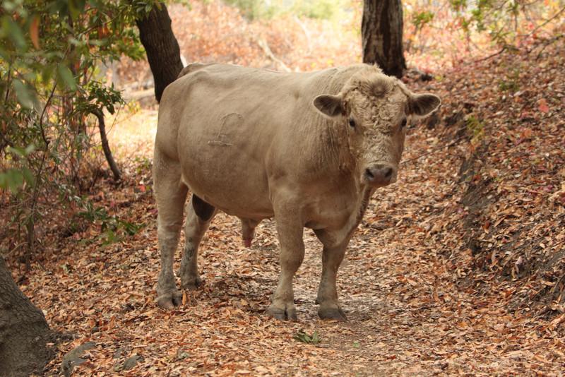 20080920_IMG_0175-Bull.jpg