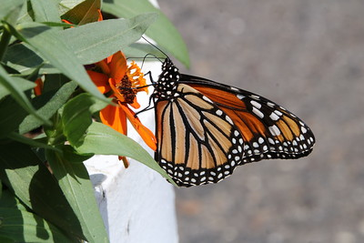 Monarch at  Work, Berlin Park and Backyard August 13 2017