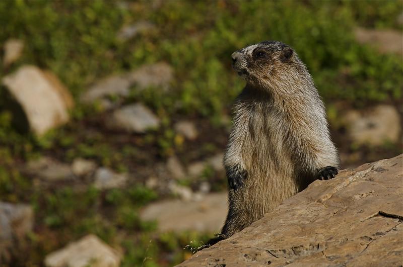 The Hoary Marmot