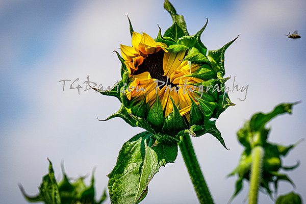 Kuipers Family Farms Sunflower Field 8/2020