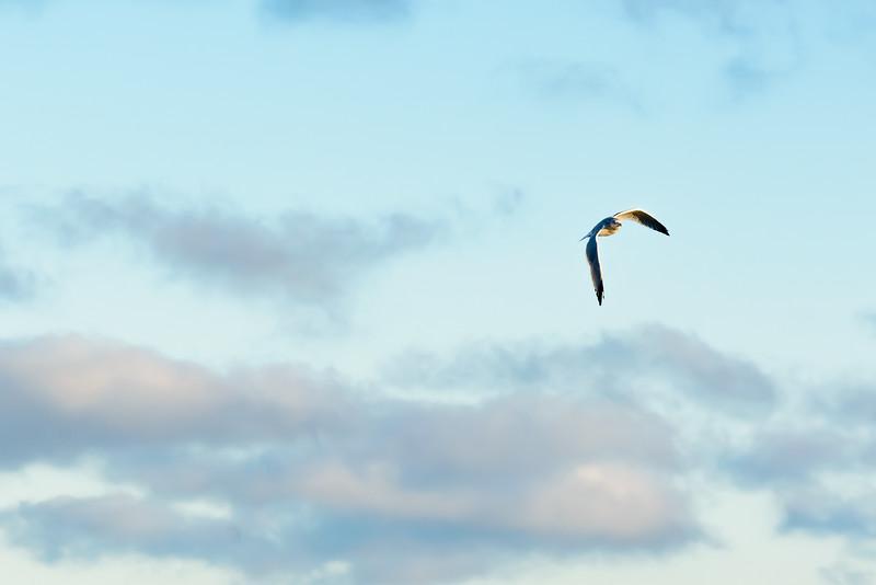 Seagull-7364.jpg