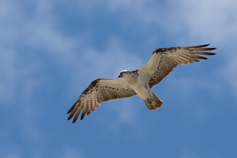 Eastern Osprey Hunting