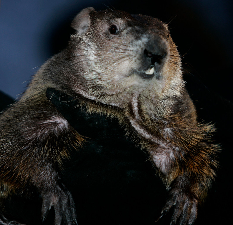 . Punxsutawney Phil, the weather predicting groundhog, is held up by his handlers  in Punxsutawney, Pa., Friday, Feb. 2, 2007.  Phil did not see his shadow on Friday which, according to German folklore, means folks can expect an early spring instead of six more weeks of winter.     (AP Photo/Carolyn Kaster)