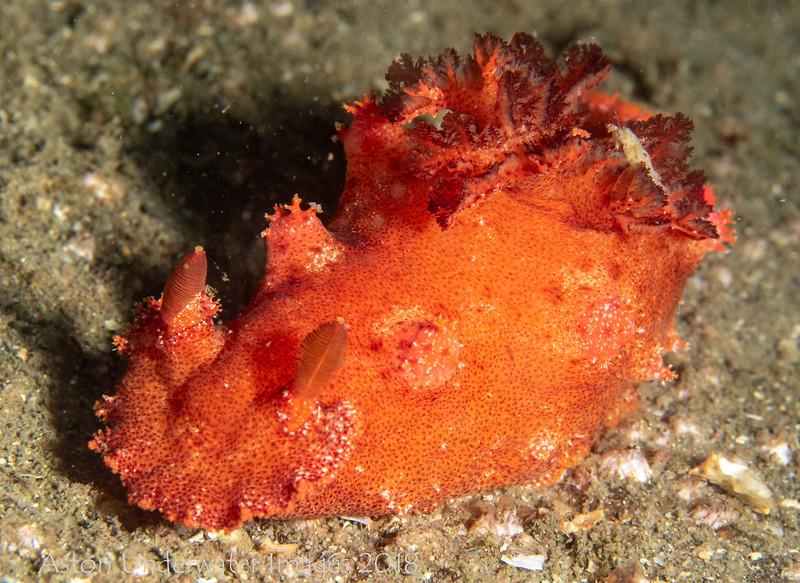 Plocamopherus imperialis