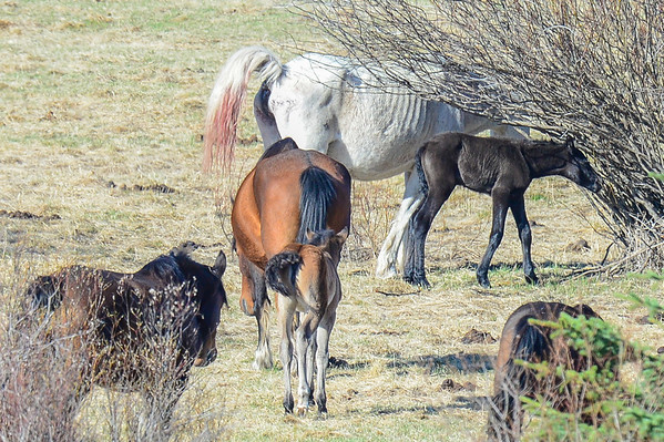 5 2013 May 7 Alberta Wild Horses - Record Day For Sightings*