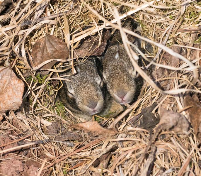 Cottontail rabbit bunnies in nest next to house Skogstjarna Carlton County MN DSC04500.jpg