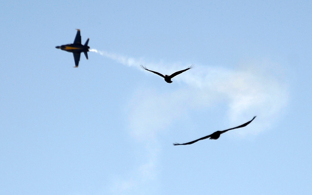 . March 19,2014. Lancaster CA.  A couple of black crows do their own flyby as the US Navy Blue Angels arrive at Fox field Wednesday morning. The Los Angels County air show with the Blue Angels will happen this Friday and Saturday at Fox Field.  Photo   by Gene Blevins/LA DailyNews